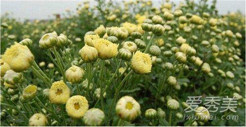 胎菊是不是野菊花 胎菊泡水喝有什么功效