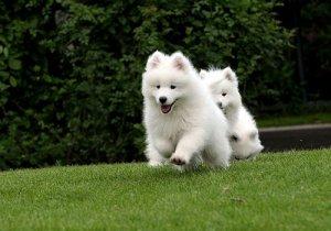微笑天使萨摩耶犬 萨摩耶犬特征