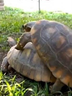 乌龟的叫声你知道是怎样叫的吗