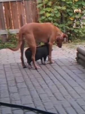 小黑猪为了避免晒伤就是要跟着你