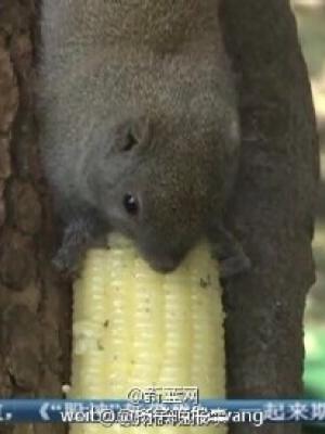西湖边小松鼠被喂成胖子 请大家手下留情!