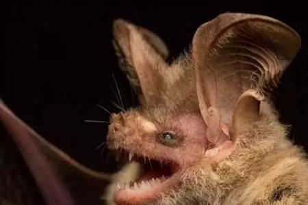 人类为啥不能把蝙蝠全部消灭? 蝙蝠病源多又是吸血鬼